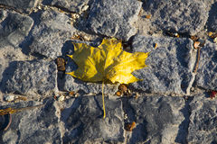 Maple leaf on pavement Royalty Free Stock Image