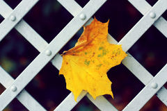 A maple leaf. In the pavilion in autumn Stock Images