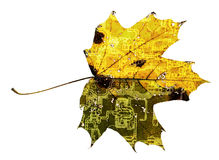 Maple leaf with PCB trace texture Royalty Free Stock Photography