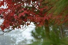 Maple, Leaf, Phukradueng, Loei Royalty Free Stock Photography