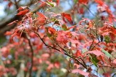Maple, Leaf, Phukradueng, Loei Stock Images