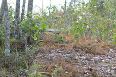 Maple, Leaf, Phukradueng, Loei Royalty Free Stock Photo
