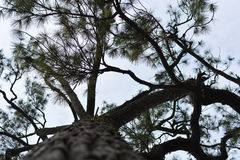 Maple, Leaf, Phukradueng, Loei Royalty Free Stock Images