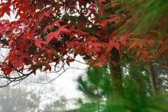 Maple, Leaf, Phukradueng, Loei,thai, Royalty Free Stock Photos