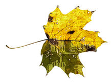 Maple leaf with printed circuit board texture Stock Photos