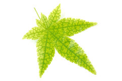 Maple leaf with prominent veins Stock Image