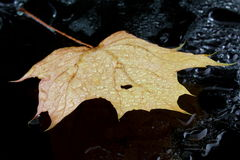 Maple leaf in puddle Royalty Free Stock Photo