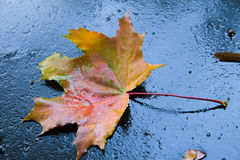 Maple Leaf after rain. With water droplets Stock Photo