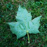 Raindrops on a mapleleaf at the lawn Stock Image