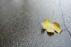 Maple leaf with raindrops Stock Photography
