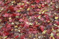 Maple leaf after raining, Korea. Beautiful yellow and red leaves on an autumn bush Stock Image