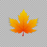 Maple leaf in a realistic style on transparent background, object. Vector illustration, botanical element. Of autumn dry leaf for your projects vector illustration