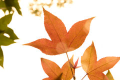 Maple leaf red autumn sunset tree Stock Images