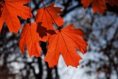 Maple leaf red autumn sunset tree. Background Stock Photo