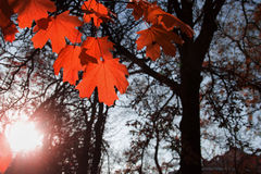 Maple leaf red autumn. Sunset tree  background Stock Images