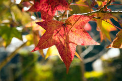 maple leaf red autumn sunset tree Royalty Free Stock Image