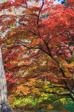 Maple leaf red autumn sunset tree blurred background Royalty Free Stock Photos