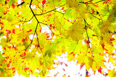Maple leaf red autumn sunset tree blurred background Stock Photo