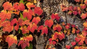 Maple leaf red autumn sunset tree blurred background Royalty Free Stock Image
