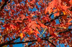 Maple leaf red autumn tree background stock photography