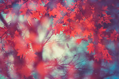 Maple leaf red autumn tree blurred background Stock Image