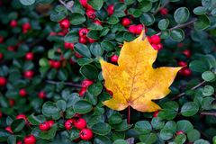 Autumn is coming. Single golden maple leaf. Autumn is coming. Single golden maple leaf laying in the bushes with red berries stock images