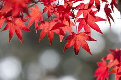 Maple Leaf, Red, Leaf, Autumn royalty free stock photos