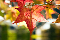 maple leaf red and tree background Royalty Free Stock Images
