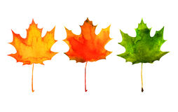 Maple leaf in red, yellow, green colors. Watercolor painting on white background Royalty Free Stock Photos