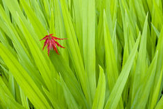 Maple leaf and reeds Royalty Free Stock Photography