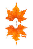 Maple leaf reflected Stock Photo