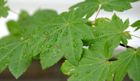 Maple leaf refreshed by morning rain. In Seattle suburb Stock Image