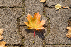Maple leaf on the road stone in autumn royalty free stock photos