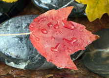 Maple leaf on rock Stock Photography