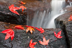 Maple leaf on rock Stock Images