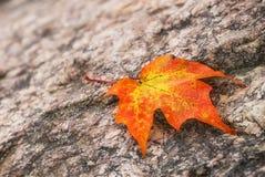 Maple leaf on a rock in autumn. Fallen maple tree leaf on a rock in autumn Royalty Free Stock Photography