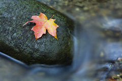 Maple Leaf on Rock in Water. A fall colored maple leaf resting on a moss covered rock with water flowing around it Stock Photos