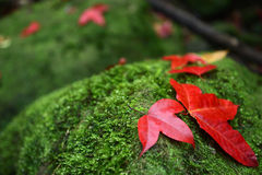 Maple Leaf on the rocks. Stock Photography