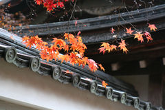 Maple Leaf on the roof of Old Temple. Red Maple Leaves, which come out  on roof of an old temple, were Rdancing with raindrops and cold autumn wind Stock Image