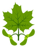 Maple leaf and seeds Royalty Free Stock Image