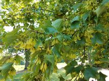 Maple leaf seeds on tree. And green leaves Stock Photography