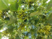 Maple leaf seeds on tree. And green leaves Royalty Free Stock Images