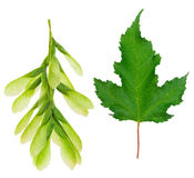 Maple leaf and seeds Stock Photos