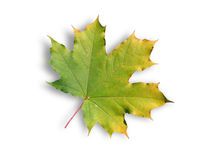 Maple leaf with shadow Stock Photos