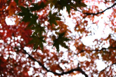 Maple leaf in the shadow. Several green maple leaf in the shadow of red maple leaves Stock Photo