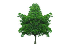 Maple leaf shape tree Stock Image