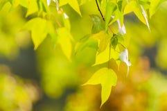 The maple leaf Stock Photos