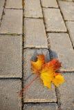 Maple leaf on sidewalk Stock Photography