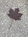 Maple leaf on sidewalk. Royalty Free Stock Images