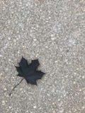 Maple leaf on sidewalk. Stock Photo